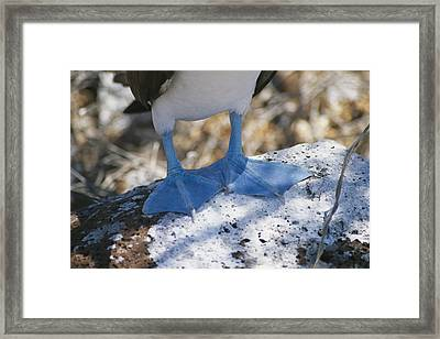 The Feet Of A Blue Footed Booby Bird Framed Print by Gina Martin