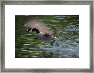 The Flight Framed Print by Karol Livote