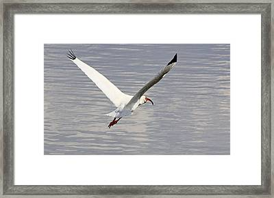 The Graceful White Ibis Framed Print by Becky Lodes