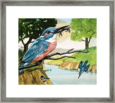 The Kingfisher Framed Print by D A Forrest