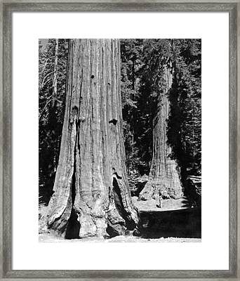 The Mariposa Grove In Yosemite Framed Print by Underwood Archives