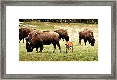 The Mighty Bison Framed Print by Ellen Heaverlo