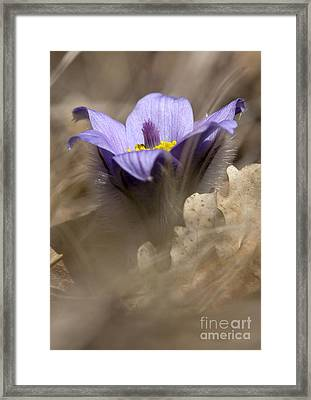 The Pulsatilla Framed Print by Odon Czintos