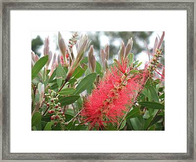 The Queen's 'ohia Lehua  Framed Print by Ron Holiday Broomell