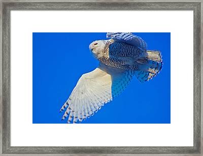 The Snowy Owl Framed Print by Chris  Allington