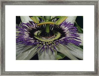 The Vivid Purple And Intricate Framed Print by Jason Edwards