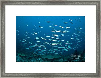 Thick School Of Fusilier Fish In Blue Framed Print by Mathieu Meur