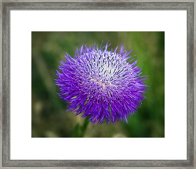 Thistle I Framed Print by Tamyra Ayles