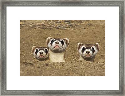 Three Black-footed Ferrets In Burrow Framed Print by Wendy Shattil and Bob Rozinski