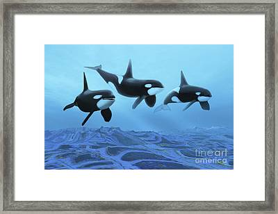Three Male Killer Whales Swim Framed Print by Corey Ford