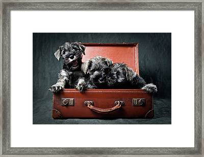 Three Miniature Schnauzer Puppies In Old Suitcase Framed Print by Steve Collins / momofoto