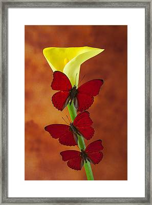 Three Red Butterflies On Calla Lily Framed Print by Garry Gay