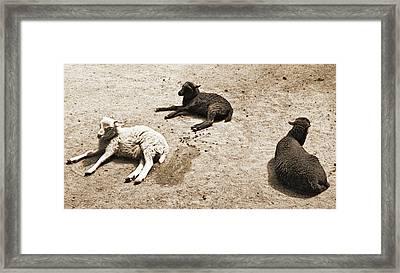 Three Sheep Framed Print by Jenn Bodro