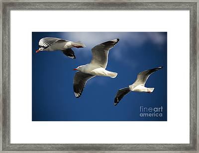 Three Silver Gulls Framed Print by Avalon Fine Art Photography