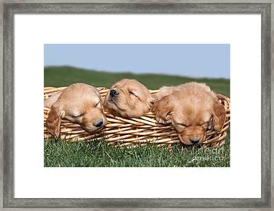 Three Sleeping Puppy Dogs In Basket Framed Print by Cindy Singleton