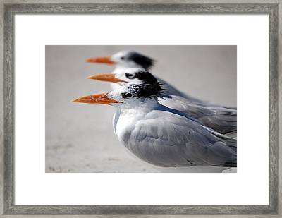 Three Terns Framed Print by Jeremy Smith