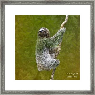 Three-toed Sloth Climbing Framed Print by Heiko Koehrer-Wagner