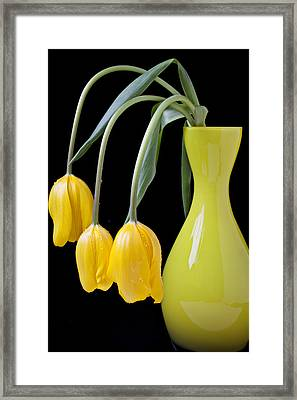 Three Yellow Tulips Framed Print by Garry Gay