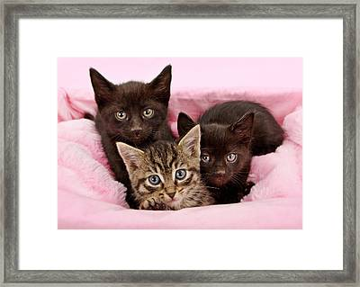 Threee Kittens In A Pink And White Basket Framed Print by Susan  Schmitz