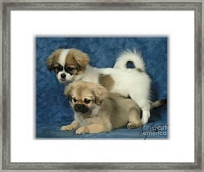Tibetan Spaniel Pups 2  Framed Print by Maxine Bochnia