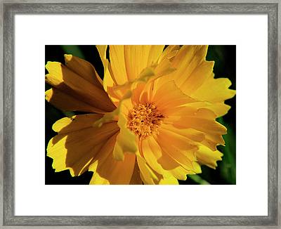 Tickseed Framed Print by Scott Hovind