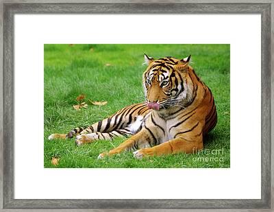 Tiger Framed Print by Carlos Caetano