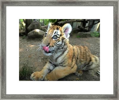Tiger Cub Look's Like Food Framed Print by Scott B Bennett