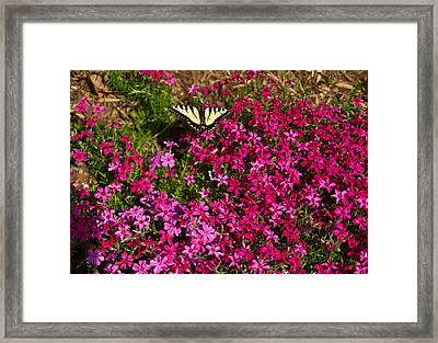 Tiger In The Phlox 6 Framed Print by Douglas Barnett