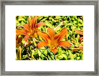 Tiger Lily 01 Framed Print by Ken Beatty