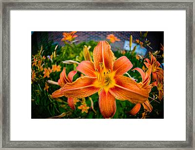 Tiger Lily 03 Framed Print by Ken Beatty