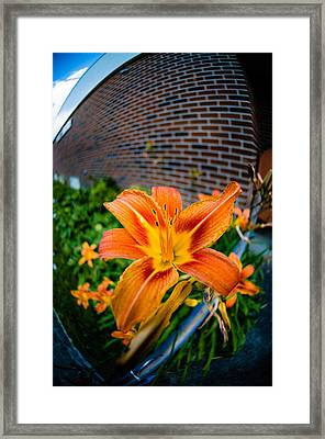 Tiger Lily 04 Framed Print by Ken Beatty