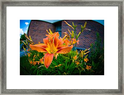 Tiger Lily 05 Framed Print by Ken Beatty