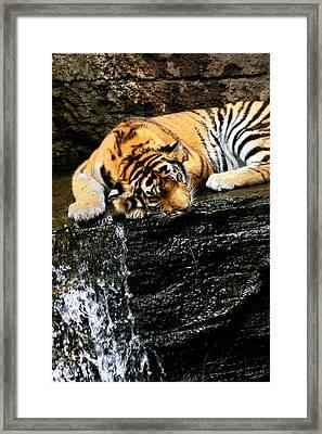 Tiger Paw Framed Print by Angela Rath