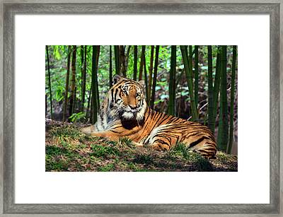 Tiger Rest And Bamboo Framed Print by Sandi OReilly
