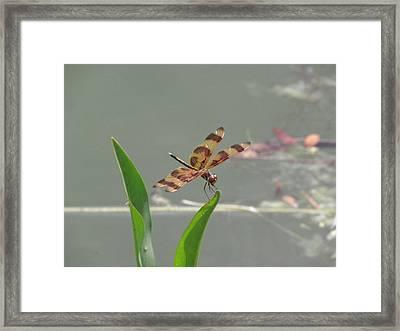 Tiger Stripe Framed Print by Kim Galluzzo Wozniak