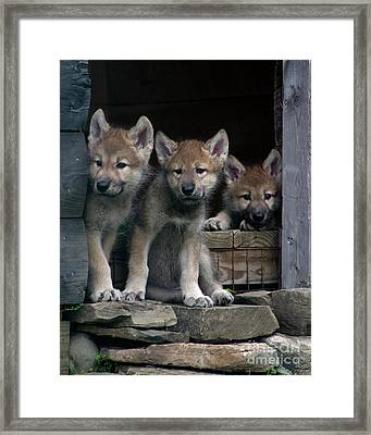 Timber Wolf Pups Framed Print by Deborah  Smith