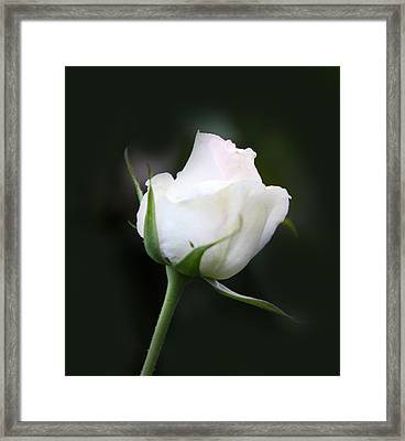 Tinted White Rose Bud Framed Print by Linda Phelps