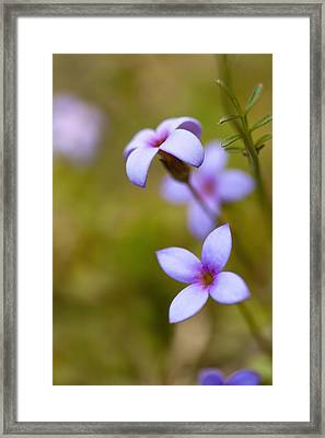 Tiny Bluet Wildflower - Houstonia Pusilla Framed Print by Kathy Clark