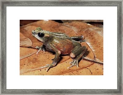 Toad Atelopus Senex On A Leaf Framed Print by Michael & Patricia Fogden