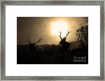 Tomales Bay California Tule Elks At Sunrise . Golden . 7d4402 Framed Print by Wingsdomain Art and Photography