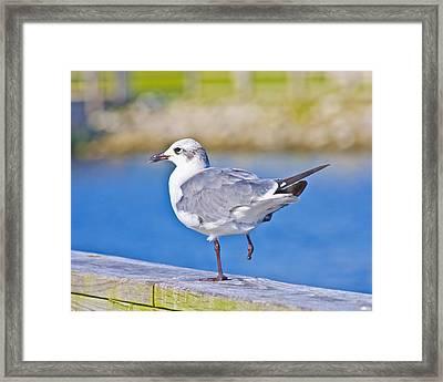 Topsail Seagull Framed Print by Betsy Knapp