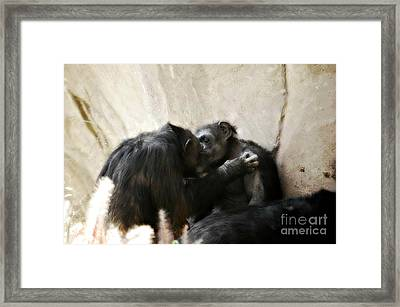 Touching Moment Gorillas Kissing Framed Print by Peggy  Franz