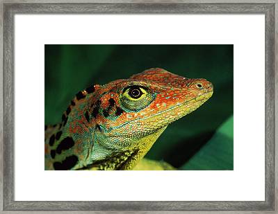 Transverse Anole Anolis Transversalis Framed Print by Murray Cooper