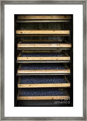 Trays Of Blueberries Framed Print by Kim Henderson