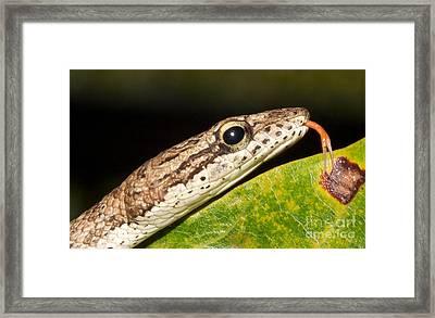 Tree Snake  Framed Print by Gary Bridger