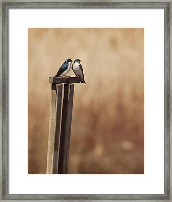 Tree Swallows On Wood Post Framed Print by Jody Trappe Photography