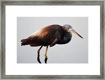 Tri-colored Heron Framed Print by Paulette Thomas