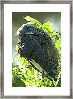 Tricolor Heron Framed Print by Carolyn Marshall