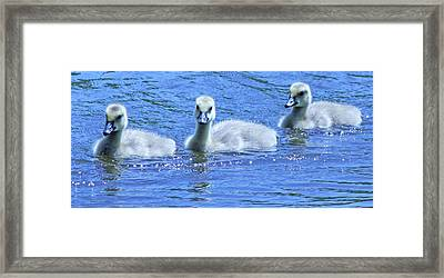 Trio Of Baby Geese Framed Print by Becky Lodes