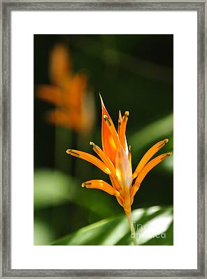Tropical Orange Heliconia Flower Framed Print by Elena Elisseeva
